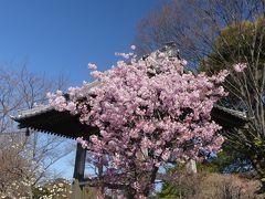 「常楽寺」の早春の花_2019_早咲きのサクラ、ミツマタ、等が咲いています(群馬県・太田市)