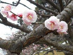 満開の梅 河津桜   IN  某食事処