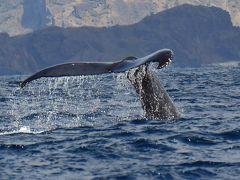 にっぽん丸の小笠原クルーズ: ザトウクジラのホエールウォッチング、アホウドリとアカガシラカラスバトの撮影