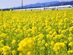 黄色い春色の風景を探しに小田原・東栢山の菜の花畑に訪れてみた