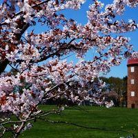 道東のドライブ旅3 日本で最後に咲く桜を探しに (Last Sakura blossom season in Japan)
