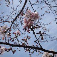 花粉にも負けず横浜ブラブラ散歩。2019年開花宣言翌日の大岡川沿い歩き