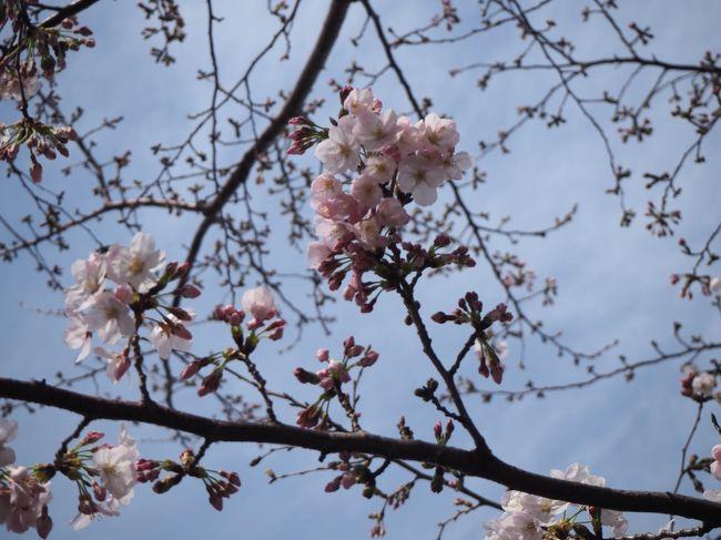 まだメキシコ旅行記の途中ですが、ちょいと割り込み。<br />横浜も桜の開花宣言が3/21されたようで、それならどんな感じなのかと、横浜における桜の名所で知られる大岡川沿いをブラブラ歩いてみました。(会社の有休取ってます。)<br /><br />来週末位に満開になるとの事で、良く見るような桜が咲き乱れる川沿いの光景からは程遠いものになっております。本編は、あくまで現状のレポートという事でご理解いただければ幸いでございます。<br /><br />今回訪れたのは京急日ノ出町駅~黄金町駅辺りと弘明寺周辺。桜以外のくだらない話(それの方が多い)も交えつつお送りします。