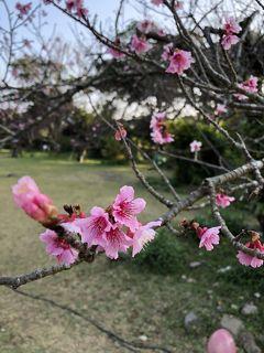 寒緋桜を見て 大好きなムーンビーチに泊まる旅☆①