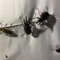 (前編)コタキナバルで昆虫採取