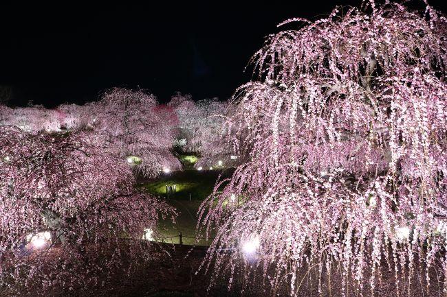 桜の便りもぼつぼつ聞かれようかという今日この頃ですが、最後の梅見の旅行記をお届けします。<br /><br />昼間の梅しか見た事のない私ですが、写真仲間から鈴鹿の森庭園のライトアップの撮影に行きませんかの提案があって、行ってきました。<br />なんでも、梅園のライトアップはそうないってことで、珍しいそうです。<br />ありそうで、ないのですね。<br /><br />鈴鹿の森庭園公式HP<br /><br />http://www.akatsuka.gr.jp/group/suzuka/<br /><br />研究栽培農園らしく、お手入れが行き届いた素晴らしい梅園です。<br />アクセスは、ここからご覧ください。<br />しだれ梅まつりは、3月31日まで。