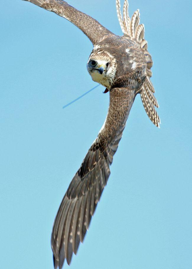 野鳥撮影を離れてスカイトライアルを見学<br />スカイトライアルとは鷹狩りの同好アマチュアの交流会です<br />今回は7-8グループがそれぞれ愛鷹を埼玉県の広場に持ち込んで腕前を披露しあいました<br />風が強く皆さん苦労していたようですが初めて見る鷹狩ショーは面白かった<br />その後都下の公園の中の展示会場で数名の知人出品している野鳥写真展が始まったので見に行きました<br />ついでに撮った野鳥も追加掲載いたします