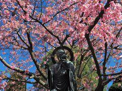 一足早く春爛漫♪ 安行桜が彩る密蔵院