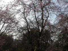 荒井城址公園の枝垂れ桜