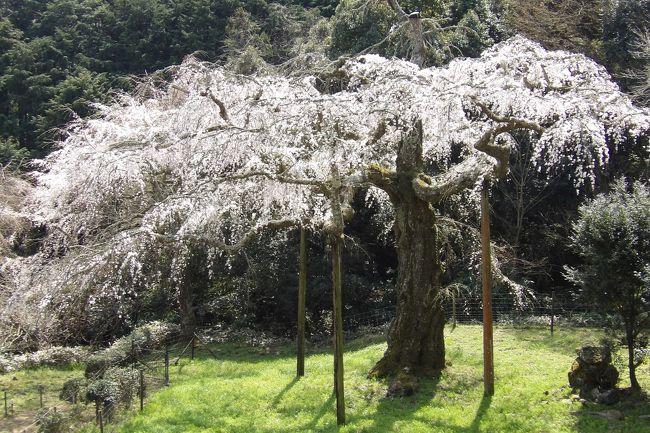 小田原市入生田(いりうだ)にある長興山紹太寺(https://4travel.jp/travelogue/10485017)の枝垂れ桜(https://4travel.jp/travelogue/10428039)は散り始めである。<br /> 時折風が吹くと花弁が舞う。お寺のホームページ(2019年3月26日)の桜開花情報では26日に満開とあるが、その翌日の今日はもう満開を過ぎて散り始めなのだ。それでも平日にも関わらず多くの花見客が訪れている。今日は晴天で、春休み中の子供たちや、シニアの男女、ご夫婦が多い。<br /> 10年前はまだ先端にも花が付いていたが、今では木の先端を切り落とされ、無残な状態である。鎌倉・長谷寺の枝垂れ桜(https://4travel.jp/travelogue/11467605)もこのような状態で満開を迎えるのであろうか?<br /> 横に伸びた枝だけが枝垂れている枝垂れ桜はやはり普段目にしている枝垂れ桜とは違う印象がする。樹齢約340年とも言われ、神奈川県下では一番の樹齢だというが、やはり寄る年(樹齢)には勝てないということだ。山高の神代桜(https://4travel.jp/travelogue/10398876)は別格としても、江戸時代に植えられたとされる鎌倉・栄勝寺の枝垂れ桜(https://4travel.jp/travelogue/10559862)や、寶壽院(横浜市戸塚汲沢4)の枝垂れ桜(https://4travel.jp/travelogue/11473247)といい、やはり、樹齢150年を越えると桜の木にはきついようだ。<br />(表紙写真は長興山紹太寺の枝垂れ桜)