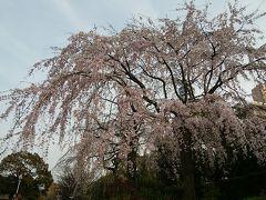 春爛漫、桜の花だより その①