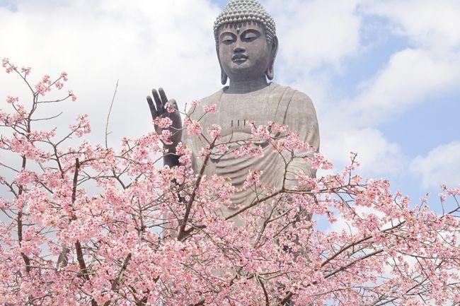 全高120m(像高100m、台座20m)の牛久大仏は、ギネスブックにも世界一と認定されている。<br />春休みの孫と一緒に久しぶりに訪れた。<br />まだ桜には早いと思ったが、早咲きの緋桜が満開で大仏とのツーショットとなった。<br />牛久大仏は、85mの高さまで登れ眺望も楽しめるが、胎内では仏教世界に浸れるのも面白い。