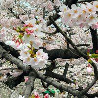 2019,3月末 練馬駅周辺と板橋区石神井川の桜