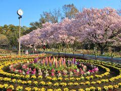 蘆花恒春園から烏山川緑道を三軒茶屋まで桜巡り2019年3月