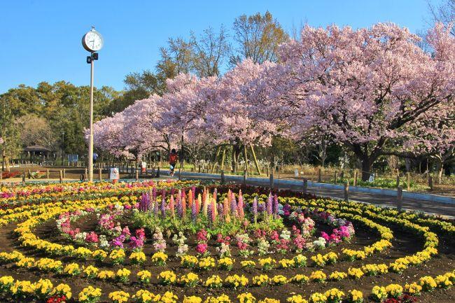気象庁より東京の桜満開が発表された3月27日に、蘆花恒春園から烏山川緑道を三軒茶屋まで約10Km散策しました。烏山川緑道は随所に桜並木があります。<br />途中では烏山川緑道の近くに位置する豪徳寺や松陰神社などに参詣しました。<br />蘆花恒春園のタカトオコヒガンザクラは満開で丁度見頃でした。<br />ソメイヨシノは2,3分咲から5分咲程度のところが多かったです。ごく一部は満開に近かったです。<br />表紙は、蘆花恒春園のタカトオコヒガンザクラと花々