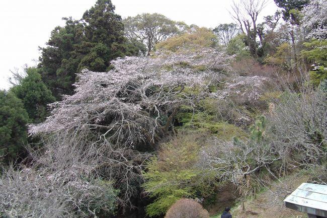 この12年間、鎌倉市内で枝垂れ桜(https://4travel.jp/travelogue/10486512)を探し回り、結果、350本余りの枝垂れ桜を確認した。それでも、見落としもあり、400本をどの程度越えるかどうかと思っていた。しかし、9割近くは見たとしても残りの1割余りには何があるか分からないということを思い知らされた。<br /> 鎌倉市内で最大の枝垂れ桜は鎌倉山1にある(仮称)扇湖山荘庭園内にあった。長尾家の別荘として昭和9年(1934年)に、飛騨高山の民家を移築・改築したとされるが、改築の方がメインであろうか。長尾欽弥・よね夫妻が住んだ。長尾欽弥(明治25年(1892年)~昭和55年(1980年)、享年89歳)はビールの絞りかすより製薬した総合保険薬「わかもと」を製造・販売する製薬会社の創業者で、巨万の富を得ることになった。<br /> その巨万の富でこの別邸「扇湖山荘」を建てた。敷地は周囲の山々を含め大凡13万坪であったが、昭和35年( 1960年)頃に母屋と主庭園を残し、周囲の山や麓の庭園が売却された。そのため敷地は1万5千坪程度に減少した。<br /> 建物(建坪470坪)は贅を尽くしているが、庭の広さだけではなく、おそらくは枝垂れ桜も相当の古木を移植したのであろう。根元も太く、高さもある。しかし、いかんせん古木である。平成29年(2017年)の開花時の写真があるが、今年はもう開花済みで一昨年の4割程度の花の量か。しかし、昨年の春も来たという人は、「去年は枯れていた。1輪も咲いていなかった。」という。古木過ぎて毎年はたくさん咲く訳ではないようだ。すなわち、来年の春にこの大しだれ桜がどの程度の花を咲かすのかは心配が残る。<br />(表紙写真は大しだれ桜)<br />