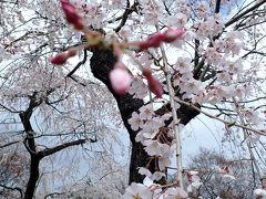 平成最後のお花見② 賀茂川で枝垂れ桜、ん~!完敗
