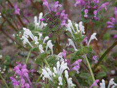 ウォーキングコースに咲く白のホトケノザの花を愛でながら