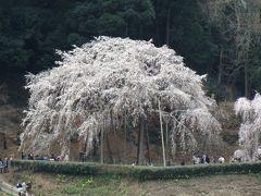 奥山田のしだれ桜を見に行きました