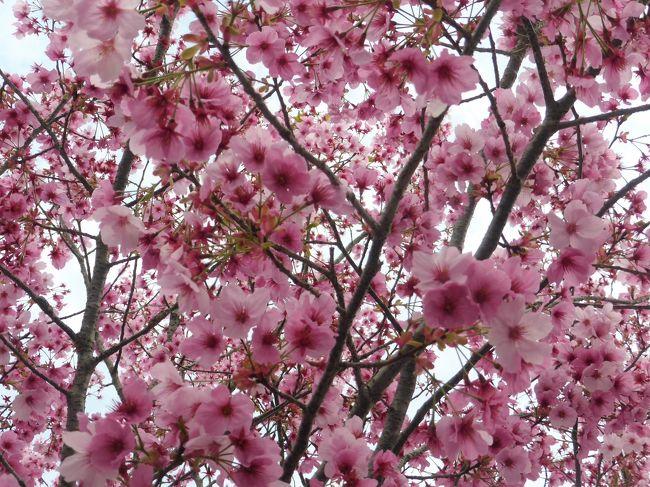 平成最後の高クラス会の観桜会に2年ぶりに参加しました<br />故郷までは楽なドライブではありませんでしたが、お墓参り<br />娘との食事、友人宅訪問と故郷へ帰れば結構多忙なスケジュールです<br /><br />観桜会には遠くは関東の同級生を含め約25名ほど参加でした<br /> 桜は前日までは5分咲でしたが、28日は夏日和の天候で<br /> 一夜にして桜満開となりました。<br /><br /><br />