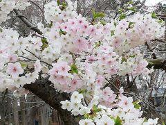 つくば市の赤塚公園でいい感じの桜