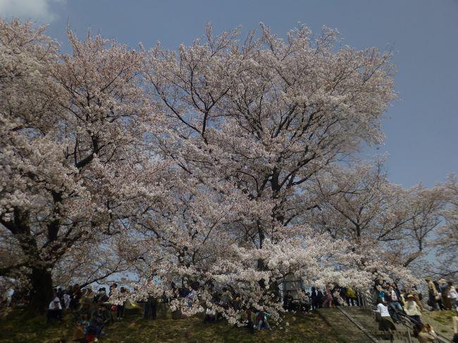 京都府と大阪府の境の八幡市<br />木津川と宇治川を分ける背割堤の<br />満開の桜の並木道、芝生の広場や展望所もあり<br />一度は行ってみてください