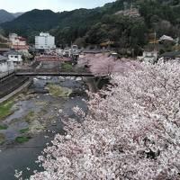 長門湯本温泉と桜