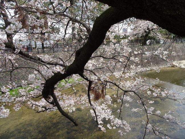ちょっと早すぎる夙川公園のお花見