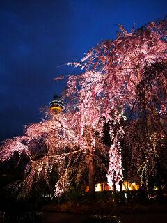 横浜さんぽ10☆しだれ桜&いちごジャーニー