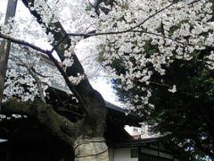 新幹線&青春18きっぷで行く東京の桜見物日帰り旅  2019・03(前編)