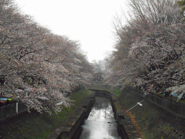 2019年の3回目の桜観賞に再び善福寺川緑地公園に桜観賞に行きました。<br />はぼ満開に咲いていました。