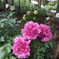 花咲くぼたんとアートの上野