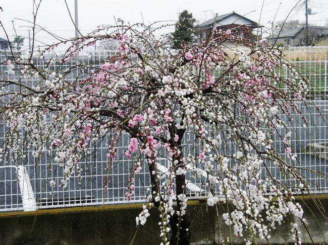 <早朝ウォーキング花紀行ー1><br />春のウォーキングは、野草や木々の花が見ながら歩けるので楽しい。<br />リハビリで歩けと言われても、なかなか乗れないが・・・<br />木々の花や、野草・コース沿いの屋敷内の草木の花々等々、時間を忘れて歩き楽しむことが出来ます。<br />特に、早春は、ウォーキングコース上で、沢山の木の花・野草が沢山見られ、時間を忘れ、歩数を延ばすことが出来て一挙両得の気持ちです。<br />そんな草木の花々をウォーキングコースに沿って楽しみながら、歩いてみました。