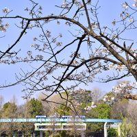 上野動物園を走る日本最古のモノレールと満開な桜の風景を探しに訪れてみた