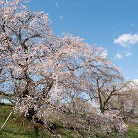 2019年 東海の桜めぐり 【1】木曽川堤の桜