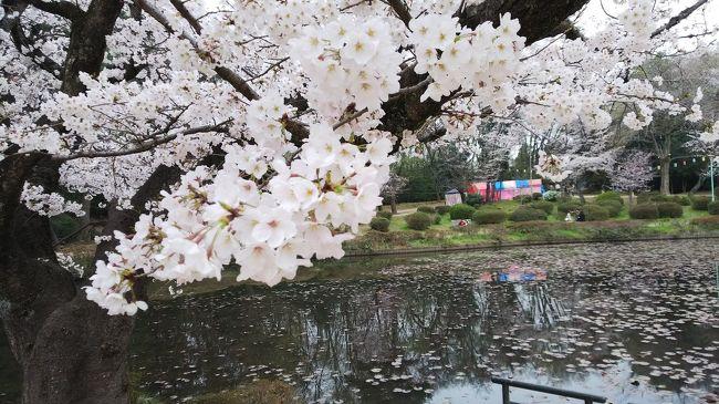 桜をみに、岩槻城址公園に。池のまわりをぐるっと歩いてきた。城の跡と言っても城跡からイメージする高い石垣に囲まれた本丸あととか天守閣あとなどがあるわけでもなく。<br />おまけにその前に行った美術館とさくら。