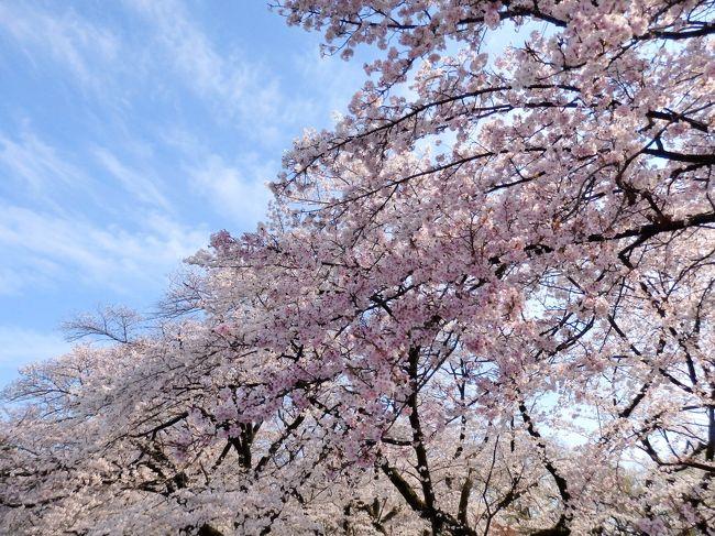 播磨坂「文京さくらまつり」と小石川植物園で桜を愛でる♪お花見さんぽ