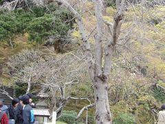 鎌倉長谷寺の枝垂れ桜の開花はこれでおしまいか-2019年