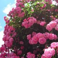 薔薇と平安時代