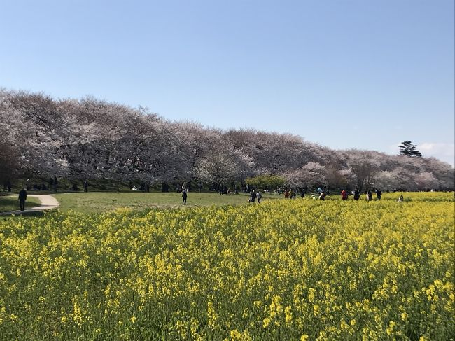 2019.4.3<br />幸手の権現堂桜堤からの館林鯉のぼり<br />今週の土日もきっと綺麗です。<br />是非、お勧めします。<br /><br />