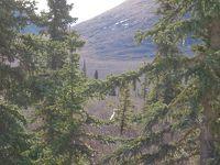アラスカ鉄道の旅�(熊に出会えた♪デナリ国立公園)