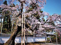 京都の桜 ①醍醐の花見