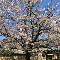 春の京都 桜求めて百鬼夜行 Vol.1 お花見ピクニックと人だかりの東山縦断(;^_^A