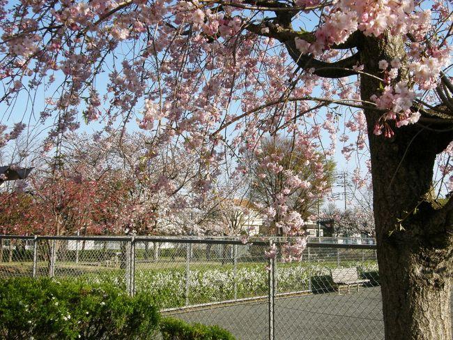 <早朝ウォーキング花紀行・・・3><br />春のウォーキングは、野草や木々の花が見ながら歩けるので楽しい。<br />リハビリで歩けと言われても、なかなか乗れないが・・・<br />木々の花や、野草・コース沿いの屋敷内の草木の花々等々、時間を忘れて歩きながら楽しむことが出来ます。<br />特に、早春は、ウォーキングコース上で、沢山の木の花・野草が沢山見られ、時間を忘れ、歩数を延ばすことが出来て一挙両得の気持ちです。<br />そんな草木の花々をウォーキングコースに沿って楽しみながら、歩いてみました。