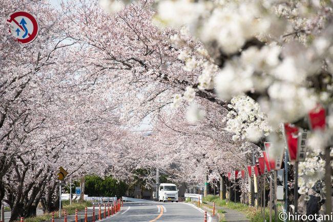 2019年 東海の桜めぐり 【3】鍋田川堤桜並木