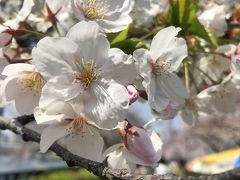 『🌸桜を求めて桜ノ宮から中之島プチトラベル🌸』