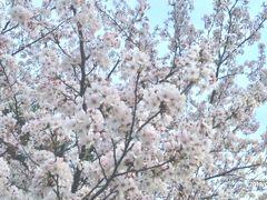 桜前線南下