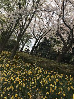 花を求めて 八千代市水仙まつり