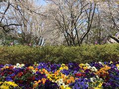 東京さんぽ!六義園と飛鳥山公園と旧古河庭園で桜鑑賞と飲めるチーズケーキ!