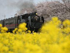 ブララブコー  「今年も行ってきました♪春限定!サクラと菜の花と真岡鐵道と蒸気機関車」